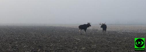 Spotkanie łosi we mgle. Niezwykłe nagranie z Mazowsza