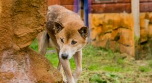 Odkryto przodków śpiewających psów z Nowej Gwinei