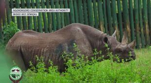 Zmarł najstarszy nosorożec na świecie